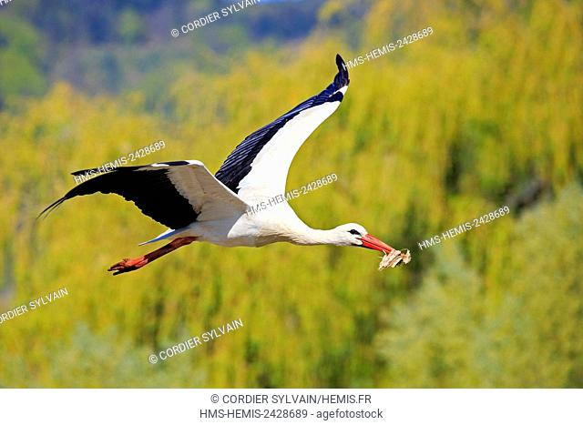France, Haut Rhin, Hunawihr, White stork (Ciconia ciconia) in the center for reintroduction of storks in Alsace region, Transportation equipment to build the...