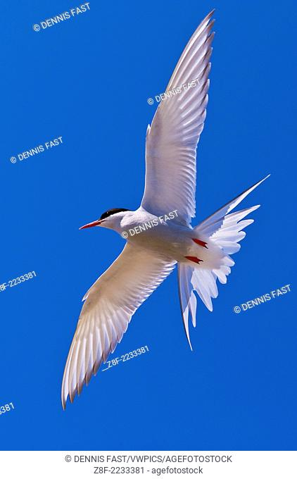 Arctic Tern (Sterna paradisaea) on Hudson Bay, Churchill, Manitoba, Canada. Arctic Terns nest commonly in Northern Manitoba, Nunavut