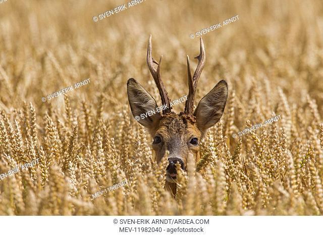 Roe Deer - buck in corn field - Germany