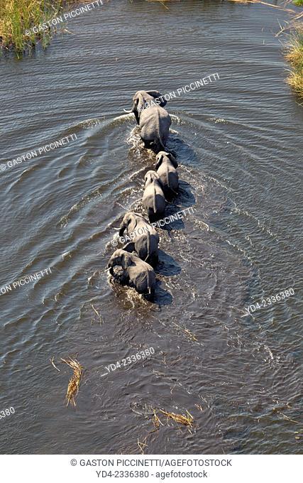 Aerial view of African Elephants (Loxodonta africana), crossing the river, Okavango Delta, Botswana. The Okavango Delta is home to a rich array of wildlife