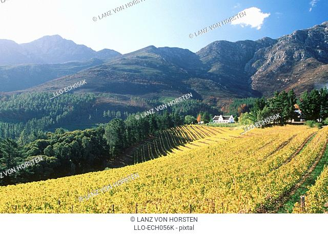 Rolling Green Vineyard with Mountainside in Background. Franschoek, Boland District, Western Cape Province, South Africa, Africa