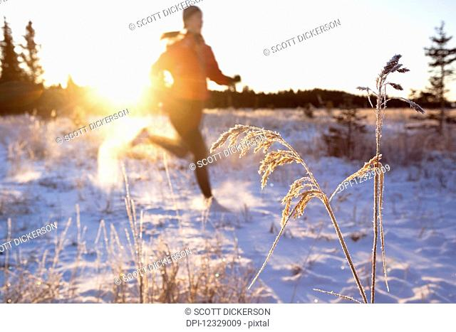 Running Across A Field With Snow And Long Grasses In Winter; Homer, Alaska, United States Of America