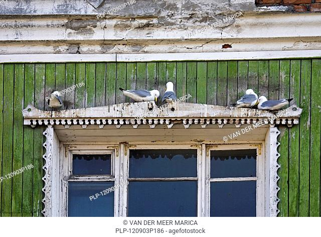 Black-legged kittiwakes Rissa tridactyla nesting above window of house in Barentsberg, Svalbard, Spitsbergen, Norway