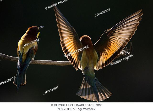 Bee-eater (Merops apiaster), couple perching, Bulgaria