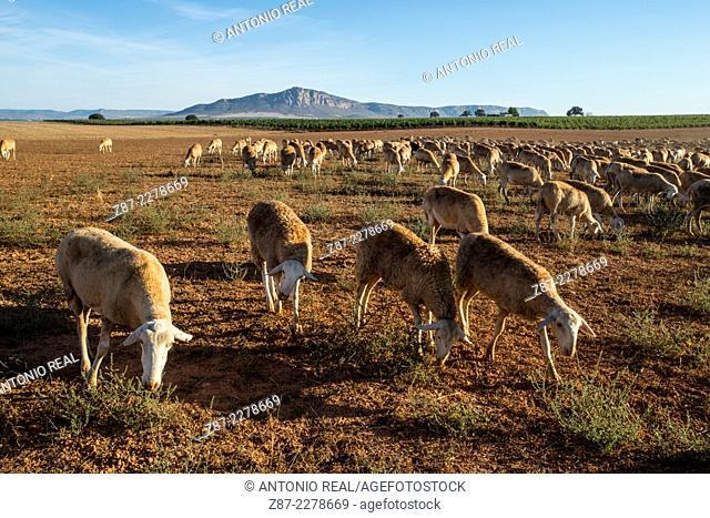 Flock, Almansa, Albacete province, Castilla-La Mancha, Spain