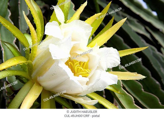 Close up of dragonfruit flower
