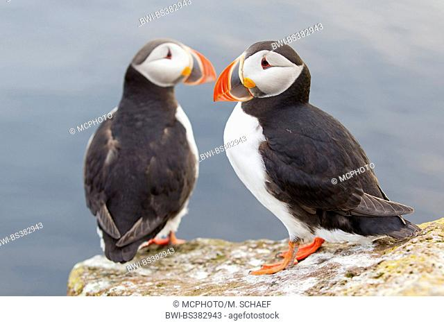 Atlantic puffin, Common puffin (Fratercula arctica), two common puffins sitting together at the sea edge, Iceland, Vestfirdir, Hvallaetur