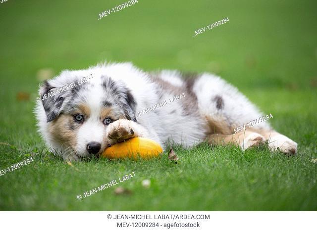 Australian Shepherd Dog puppy outdoors