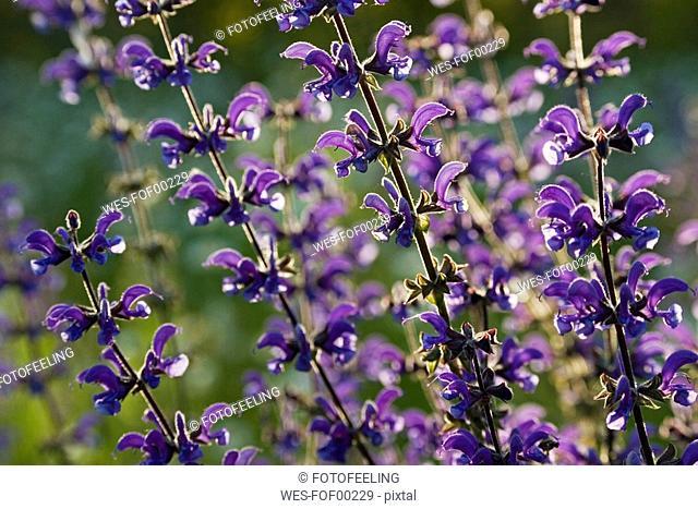 Germany, Bavaria, Salvia Patens or Cambridge Blue