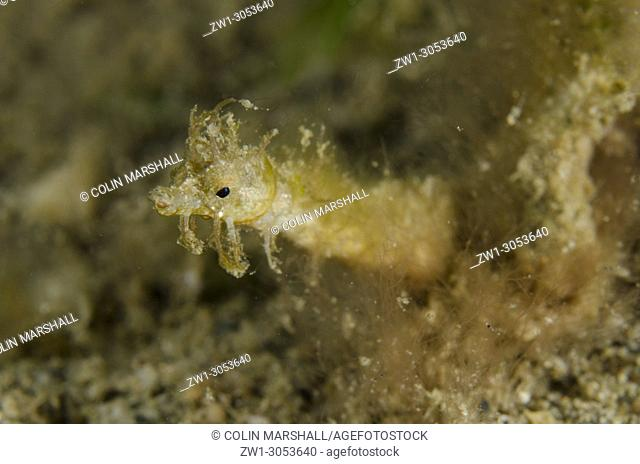 Shortpouch Pygmy Pipehorse (Acentronura brevipurula), Night dive, Dili Rock East dive site, Dili, East Timor (Timor Leste)