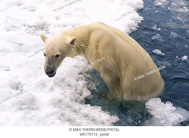 Polar Bear (Ursus maritimus) swimming and getting out of water, Svalbard Archipelago, Norway