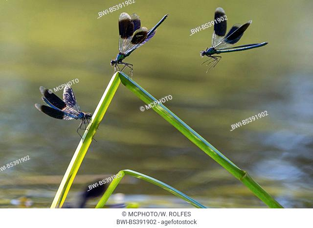 banded blackwings, banded agrion, banded demoiselle (Calopteryx splendens, Agrion splendens), three banded blackwings on buckled blades of reed, Germany