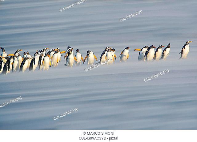 Gentoo Penguins (Pygoscelis papua papua) marching in line, Falkland Islands