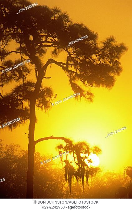Pine tree silhouettes at sunrise, Myakka River State Park, Florida, USA