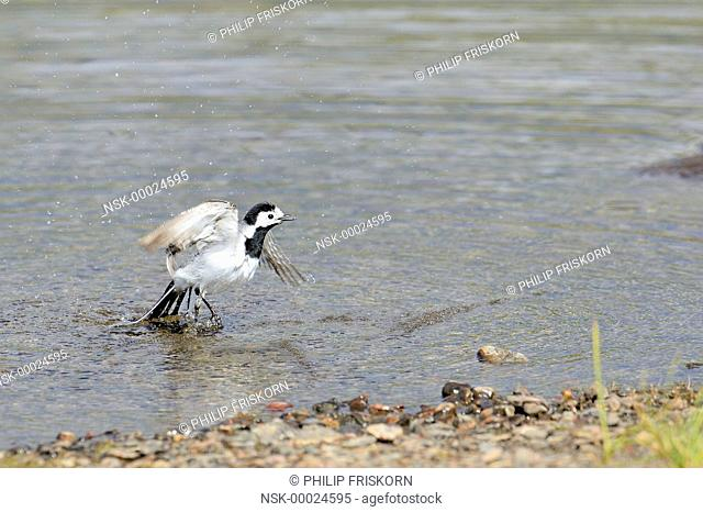 Pied Wagtail (Motacilla alba) is flying up from the lake after taking a bath, Sweden, Lappland, Lappland