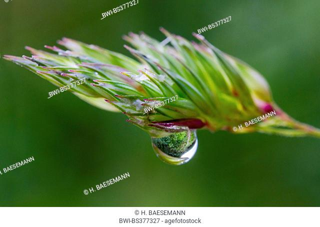 cocks-foot, orchard grass (Dactylis glomerata), water drop at grass ear, Norway, Troms