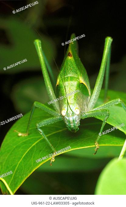 Giant green katydid (Ephippitytha or related genus), camouflaged against the verdant green rainforest foliage of the Relict Myrtaceous Emergent Vine Forest
