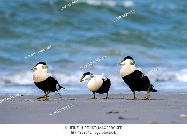 Common Eider (Somateria mollissima), male on the beach, Heligoland, Schleswig-Holstein, Germany