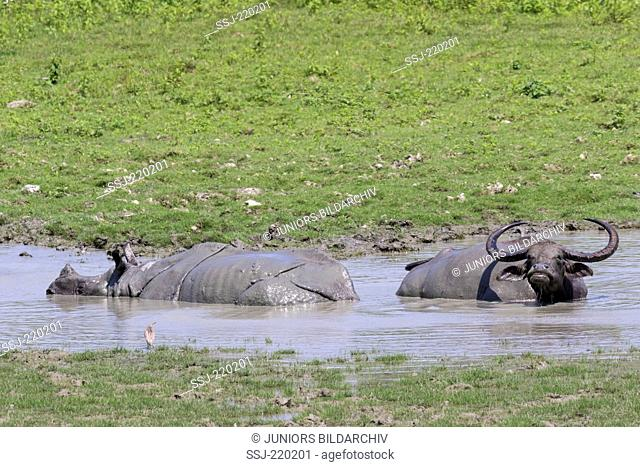 Asian wild water bufallo (Buffalo arnee) and Indian Rhinoceros (Rhinoceros unicornis) taking a mud bath, Kaziranga-Nationalpark, Assam