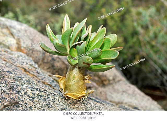 Botterboom Tylecodon paniculatus in habitat, Crassulaceae, Richtersveld, South Africa