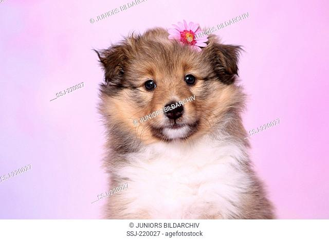 Shetland Sheepdog. Portrait of a puppy (6 weeks old), wearing a pink flower on its head. Studio picture against a pink background