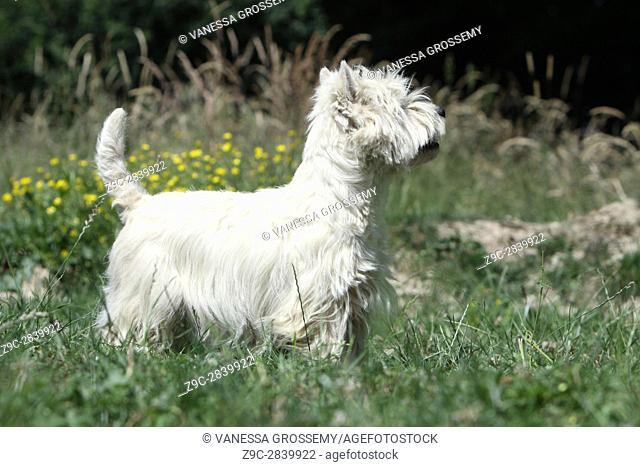 Dog West Highland White Terrier Westie
