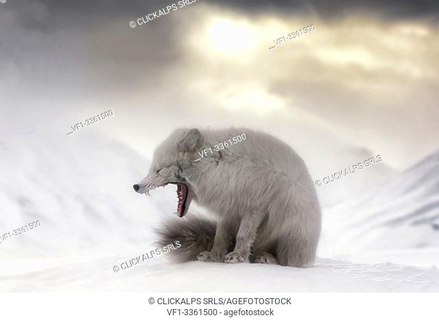Arctic fox (Alopex lagopus) yawning, in the abandoned Russian settlement of Pyramiden, Billefjorden, Svalbard