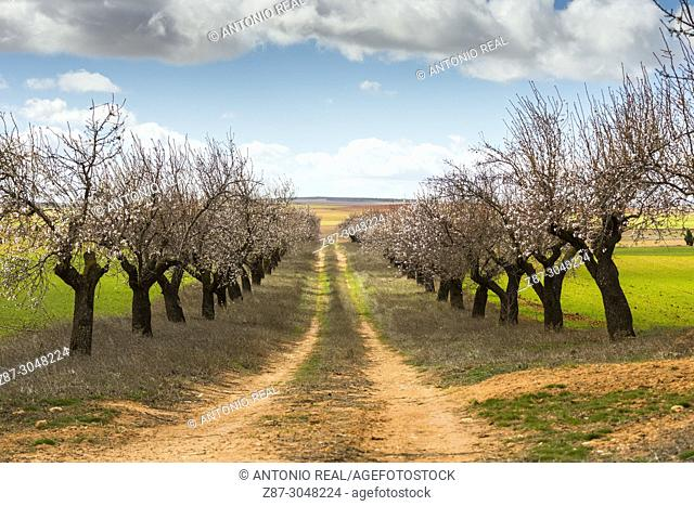 Almond trees in bloom and green fields. Corral Rubio. Albacete province. Spain
