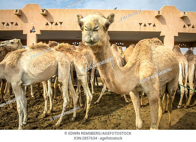 A group of camels at the Al Ain Camel Market, located in Abu Dhabi, UAE