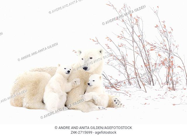 Polar bear mother (Ursus maritimus) lying down on tundra, with two new born cubs playing, Wapusk National Park, Manitoba, Canada