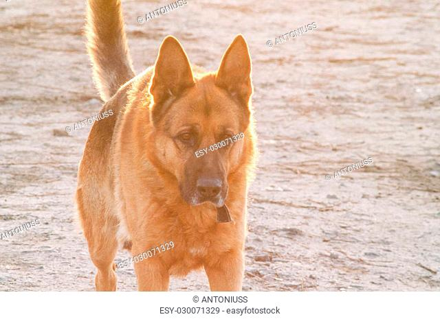 portrait of a lonely German Shepherd dog on the street