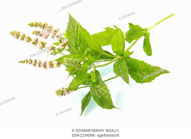 Green mint leaves with blossom isolated on white background