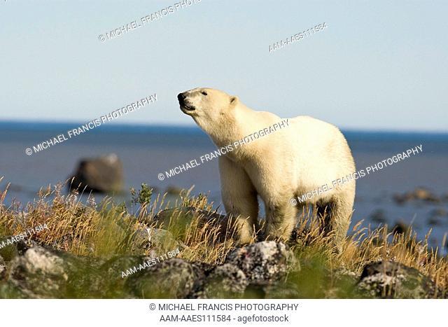 Polar Bear (Ursus maritimus), male portrait with Hudson Bay, Seal River Lodge, Churchill, Manitoba, Canada (no snow)