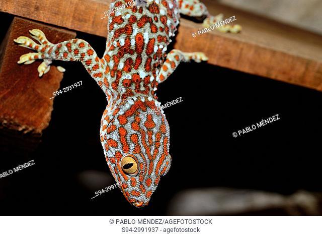 Tokay gecko (Gekko gecko) in Phnom Doh Kromom hill, Sen Monrorom, Cambodia