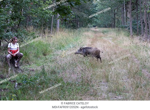 Nature - Fauna - Wild boar - Young wild boar facing a walker in forest