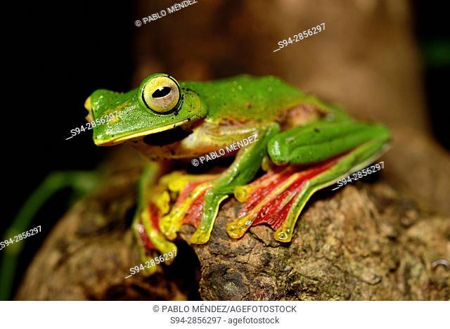 Malabar gliding frog (Rhacophorus malabaricus) in Cotigao sanctuary, Goa, India