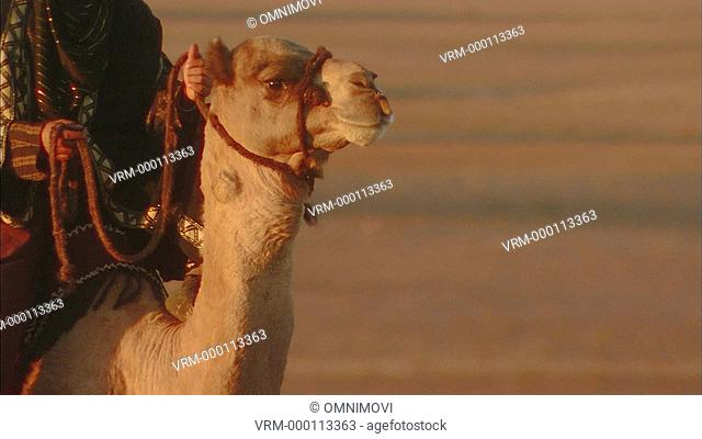 Arab male and older bearded Arab male riding Camels in desert landscape