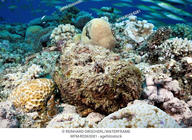 Reef Stonefish, Synanceia verrucosa, Osprey Reef, Coral Sea, Australia