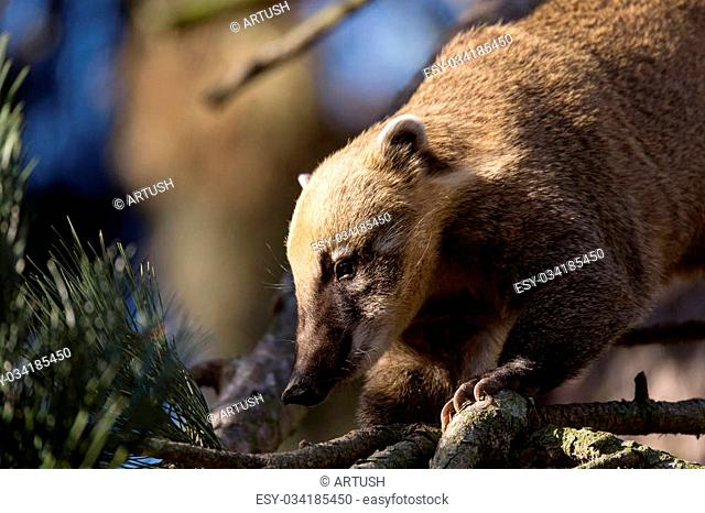 South American coati (Nasua nasua), known as the ring-tailed coati
