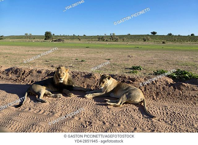 African lion (Panthera leo) - Male and female, in the grabel road, Kgalagadi Transfrontier Park, Kalahari desert, South Africa/Botswana