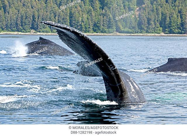 Humpback whale  Caudal fin  Tail  Megaptera novaeangliae  Order: Cetacea Suborder: Mysticeti Family: Balaenopteridae