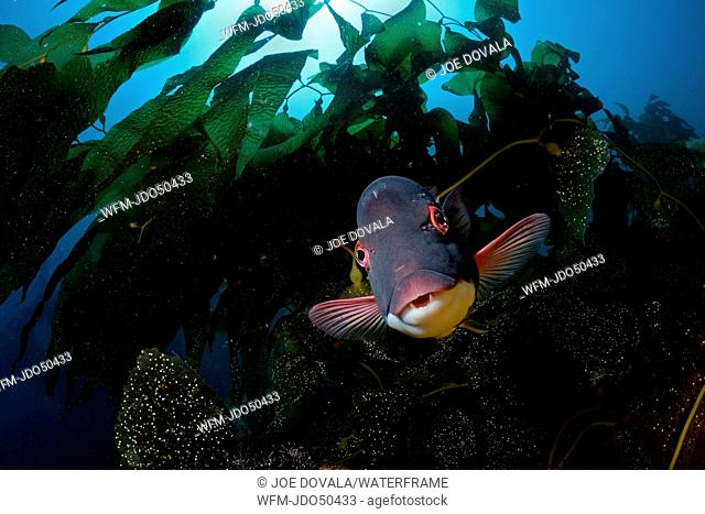 Male Sheephead Wrasse, Semicossyphus pulcher, Catalina Island, California, USA