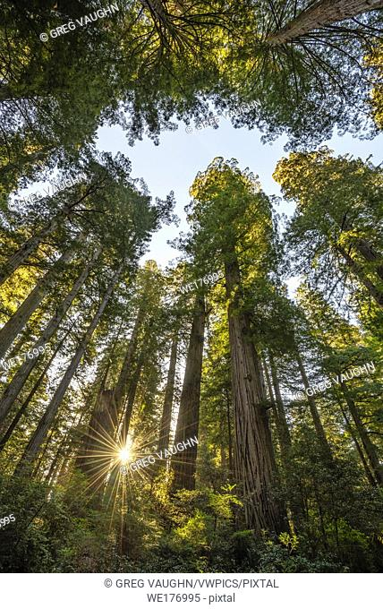Redwood trees in the Lady Bird Johnson Grove, Redwoods National and State Parks, California