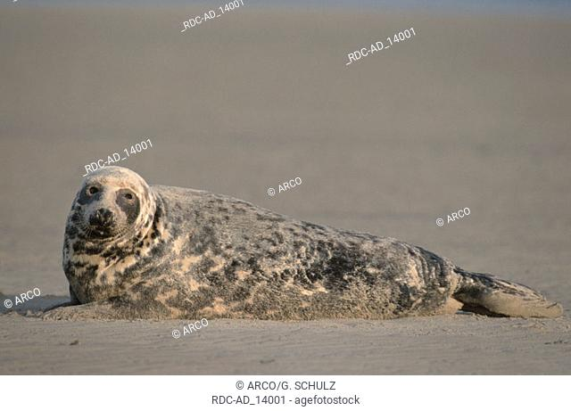 Grey Seal Amrum Germany Halichoerus grypus side