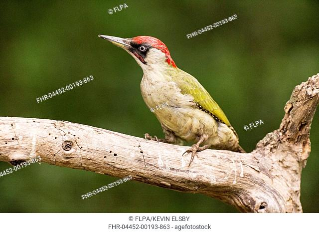 European Green Woodpecker (Picus viridis) adult male, perched on branch in woodland, Hungary, April