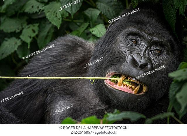 Mountain gorilla (Gorilla beringei beringei) feeding. Bwindi Impenetrable Forest. Uganda