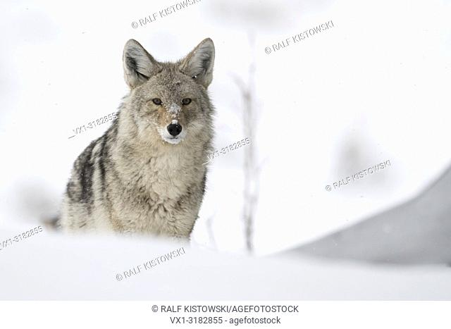 Coyote ( Canis latrans ), in winter, standing in high snow, watching carefully, waiting, Yellowstone National Park, Wyoming, USA.