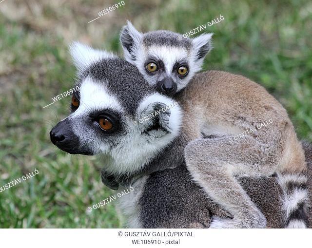 Lemur takes the kid back