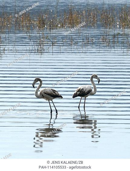 12.12.2018, Turkey, Didim: Flamingos are standing in the Bafasee. The water is an inland lake formed on the western coast of Turkey from an earlier inlet
