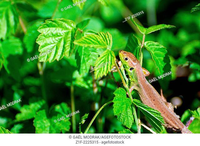 Young green lezard. Lacerta bilineata